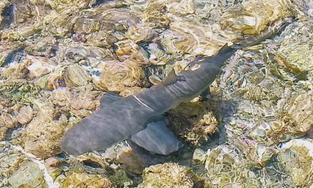Sal: An unusual sighting – sharks