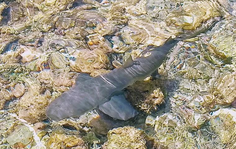 Sal: An unusual sighting – sharks
